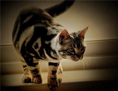 三个月的虎斑猫吃什么比较合适?虎斑猫的饮食方法及注意事项